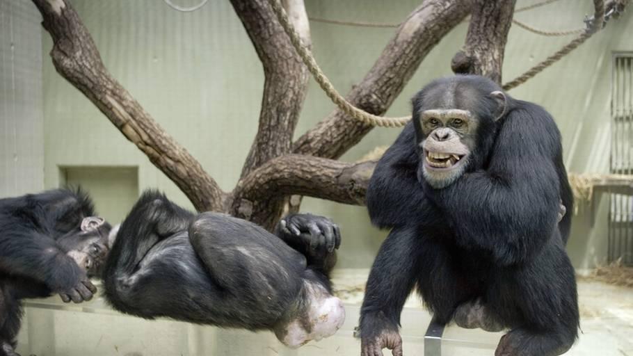 hvordan ser en gorillas penis ud