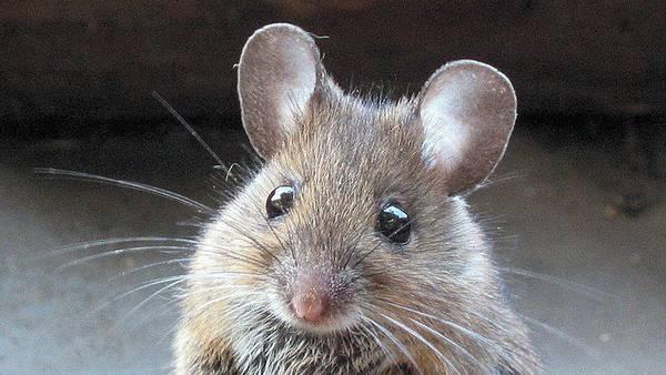Plaget af mus: Sådan slipper du af med dem – Ekstra Bladet