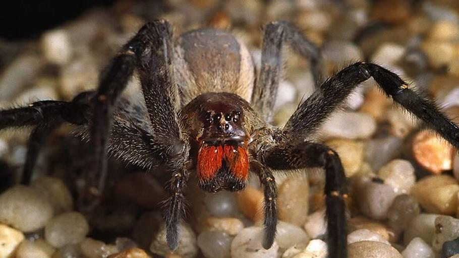 edderkopper på penis