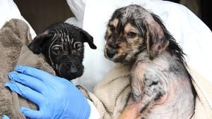 17 hvalpe fundet mishandlet på hundefabrik. Foto: Dyrenes Beskyttelse