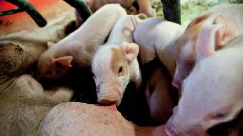 I det konventionelle landbrug klipper man halerne af næsten alle grise, selvom det er ulovligt. Foto: Joachim Adrian/Polfoto