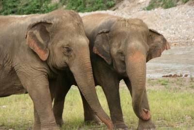 1347430e7f5 Elefantlort eller lorte-kaffe – to mystiske souvenirs du kan slæbe med hjem  fra ferien