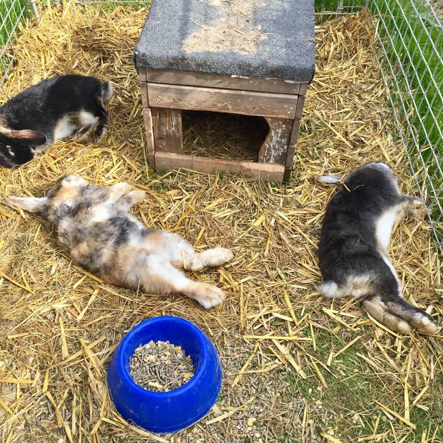 hvor kommer kaniner fra