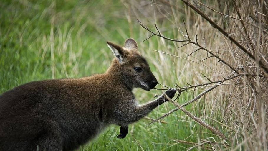 mand slår kænguru