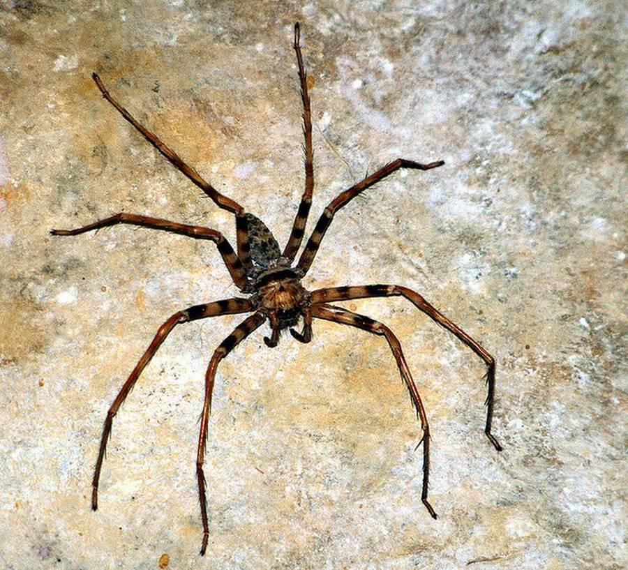 den brasilianske vandre edderkop