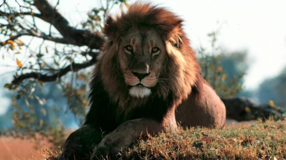hvad spiser løver