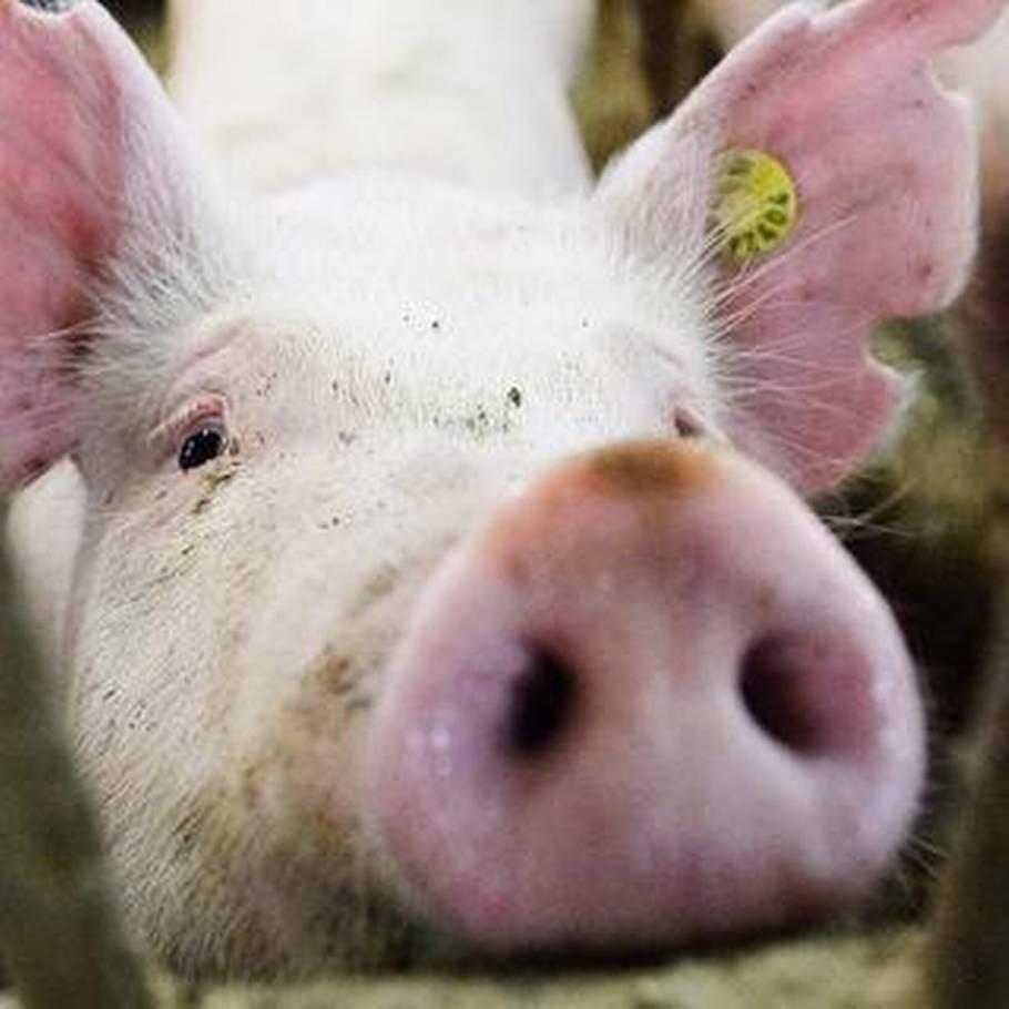 må man selv slagte en gris